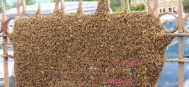 "Hive of activity as 40,000 bees swarm on Glasgow street, UK ""Photo"""
