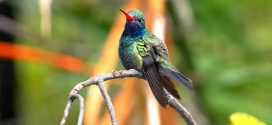 Hummingbird Vision Wired to Avoid Collisions, Says New Research