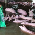 Pigs Rescued From Floods in China