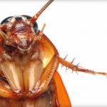 Researchers to trial cockroach milk as a future protein supplement