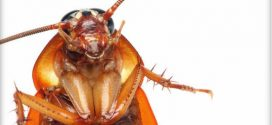 Researchers to trial 'cockroach milk' as a future protein supplement