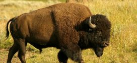 Scientists produce world's first wood bison using in vitro fertilization