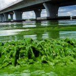 "Toxic algae bloom blankets Florida beaches ""Video"""