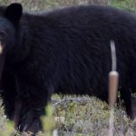 Bear mauls girl in Port Coquitlam, Report