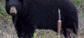 Bear mauls girl in Port Coquitlam, Report