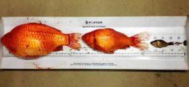 Cute goldfish have overrun two Okotoks storm ponds, Report