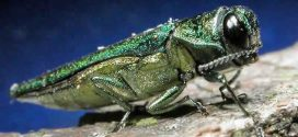 Emerald Ash Borer Has Arrived In Philadelphia, Deadly To Ash Trees
