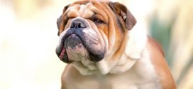 English Bulldogs Face Extinction, Says New Study