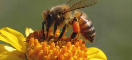 Honey Bee Population Drop by 12 Percent, says new research