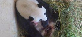 Rare giant panda cub born at Vienna zoo (Photo)
