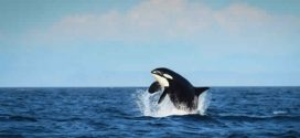 """Whale """"Granny"""" as old as the Titanic spotted in the Pacific"""