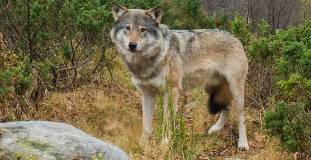 Algonquin Wolf And Coyote Hunting and Trapping Ban