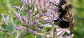 Bumblebee could be listed as endangered species, Report
