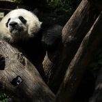 It's official: Giant Pandas Aren't Endangered (For Now)