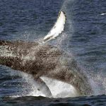 NOAA removes most humpback whales from endangered list