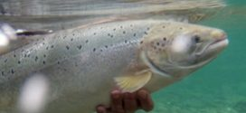 Research confirms mating of farmed, wild salmon in Newfoundland