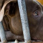 SPCA to end dog services over pit bull ban, Report