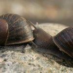Help find Jeremy the 'lefty' snail a mate