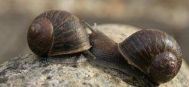 Help find Jeremy the 'lefty' snail a mate (Video)