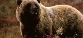Man survives two bear attacks in the same day