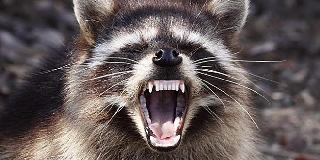 Rabies reported in Burlington: Protect Your Family and Pets