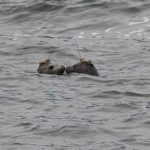 Rescued seal pups released and tracked (Video)