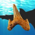 Research reveals new extinct species of giant shark