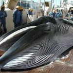 Japan Ignores IWC Whaling Resolution, Report