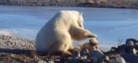 Polar Bear Kills Dog Where Heartwarming Video Was Shot (Watch)