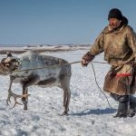 Starvation killed 80,000 reindeer after unusual Arctic rains cut off the animals' food supply, Report