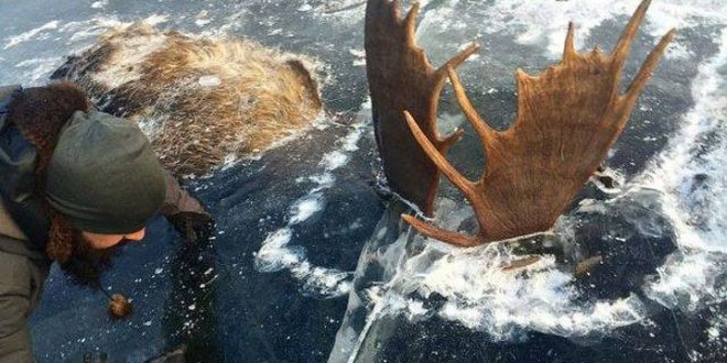 Two moose found frozen in fight with antlers locked