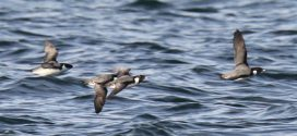 British Columbia seabird haven marked for protected status, Report