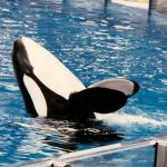 Captive whale study doesn't increase wild conservation, Vancouver Humane Society report