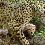 Cheetah sprinting to extinction, wildlife experts warn