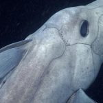 Elusive 'Ghost Shark' Filmed Alive In Ocean For First Time (Video)