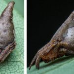 Eriovixia gryffindori: New spider species named after Harry Potter hat
