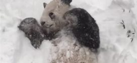Giant panda Plays with a Snowman at Toronto Zoo (Video)