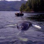Humpback whale found dead at salmon farm