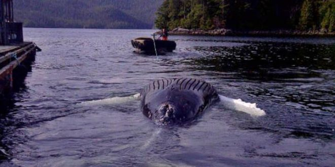 Humpback whale found dead at salmon farm in Nootka Sound