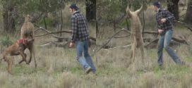Man punches kangaroo in Australia to save his dog (Video)