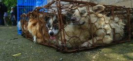 Pooches rescued from Chinese dog meat festival arrive in Canada to start new lives