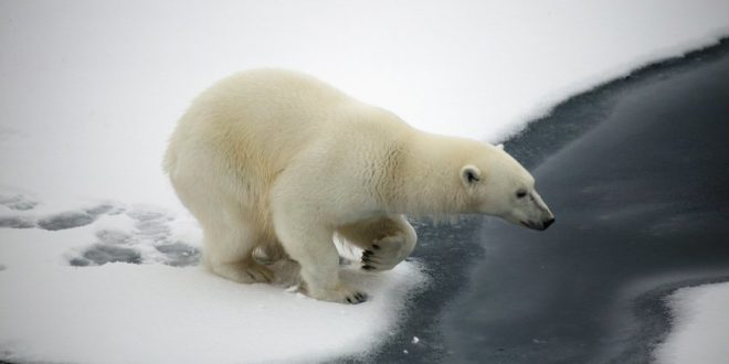 Arctic area pollutants threatening polar bear, finds new research
