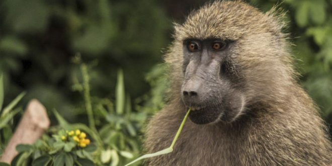 Baboons recorded making key sounds found in human speech, finds new research