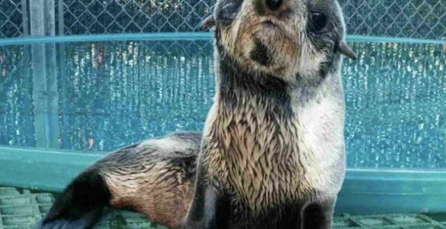 Baby fur seal pup spotted near boats recovering at Vancouver Aquarium (Video)
