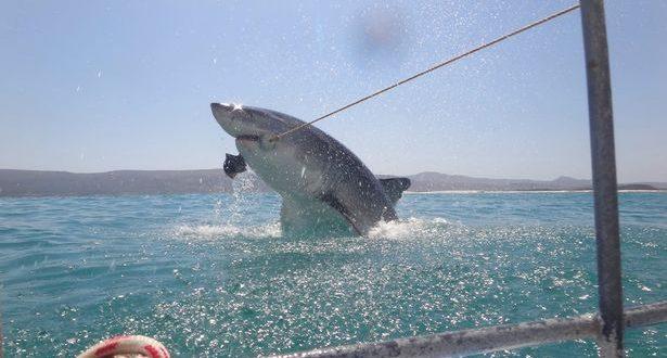 British tourist gets very close to great white shark (Watch)