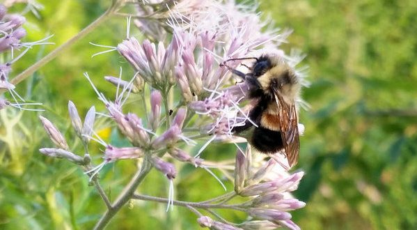 Bumblebee placed on endangered species list in US