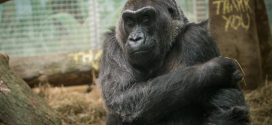 Colo, the oldest gorilla in captivity, dies in Columbus, Ohio