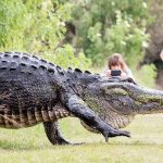 Giant 'Humpback' Alligator Casually Strolls Past Tourists (Video)
