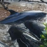 Mysterious stranding kills 81 false killer whales In Florida