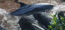 "Mysterious stranding kills 81 false killer whales In Florida ""Photo"""